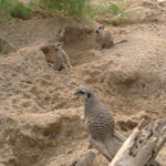 meerkats-london-zoo