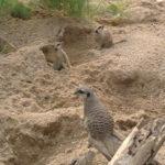 meerkats-london-zoo